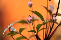 Macro of clematis montana buds
