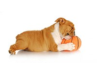 playful puppy _ english bulldog playing chewingstuffed basketball on white background _ nine weeks old