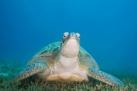 Adult female Green turtle chelonia mydas on seagrass, front view. Naama bay, Sharm el Sheikh, Red Sea, Egypt.