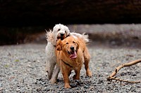 A golden retriever looks directly at the camera as he runs towards it. A white golden doodle chases him and looks as if she will grab his ear. They ar...