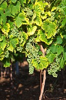 croatia, istria - closeup of wine grapes at vineyard in summer
