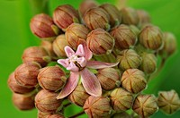 Common Milkweed Asclepias syriaca Flowers, Greater Sudbury Lively, Ontario, Canada