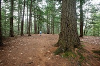 Softwood forest at the Dells Conervation Area in Littleton, New Hampshire USA