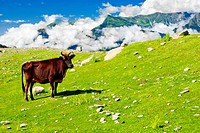 Wild skinny cow on meadow in Himalaya mountains