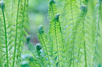 Common Male Fern leaves Dryopteris filix-mas shaking in a spring breeze