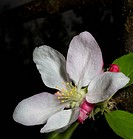 flower on a Granny Smith apple tree