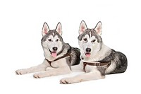 two siberian husky puppies in front of a white background