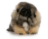 pekingese puppy sitting with reflection on white background