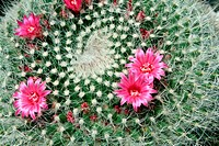 Pink flower of a cactus