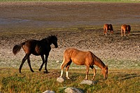 Nature in south Sweden in the province of Skåne, horses on a field