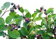 Branches and berries of ´Rhamnus frangula´ wild bush. Selective focus