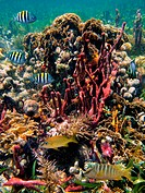 Colony of corals with tropical fish, Caribbean, Mayan Riviera, Mexico