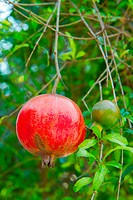 Ripe pomegranate and leaves on tree