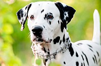 Beautiful young dalmatian dog standing with his front to the camera. Summer or spring green foliage in background