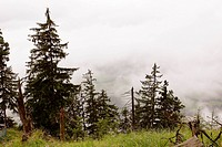alpine pine trees in the fog