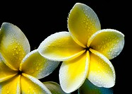 Plumeria flowers like wind turbines