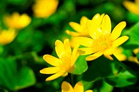 Macro image of fresh yellow flowers in spring forest