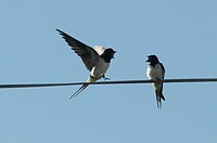 Two Barn Swallows Hirundo rustica singing on a powerline in spring