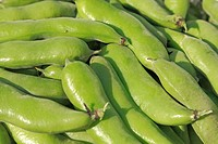 Closeup of harvested fava bean pods