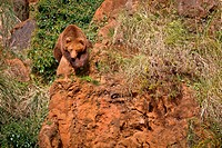 One brown bear, ursus arctos resting on the rock