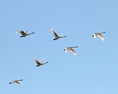 Tundra swans flying in formation at twilight.