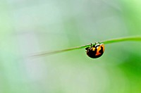 ladybug in the green nature or in the garden