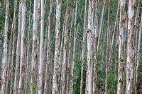pattern of eucalyptus trees