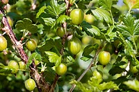 Ripe Gooseberries shrub in summer closeup