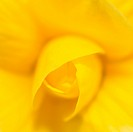 High resolution close_up photo of a yellow rose. Shallow DOF