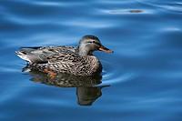 Female Mallard swimming in a local pond.