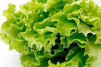 green leaf lettuce on white background