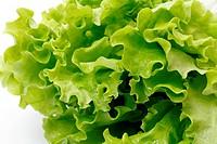green leaf lettuce on white background