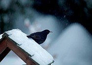 Male Common Blackbird on snowy bird table during English winter