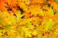 Eichenlaub _ Oak leaf cluster 02