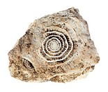 Stone with old fossilized seashells on the white background
