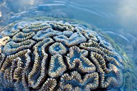 a brain coral, Favia sp, from the coral faimily Faviidae, pictured at low tide