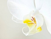 white orchid phalaenopsis over light background