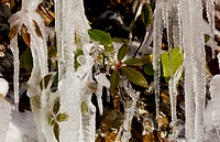 Icicles frozen to rock face on famous weeping wall in Smoky Mountains with new leaves frozen in the ice