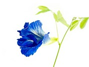 Blue butterfly pea flower isolated on white background