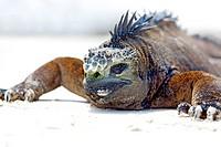 Portrait of a Marine Iguana on Galapagos