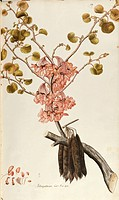 Herbal, 18th-19th century. Iconographia Taurinensis. Volume III, Plate 19 by Francesco Peyrolery: Judas Tree (Cercis siliquastrum), Fabaceae. Deciduou...