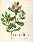 Herbal, 18th-19th century. Iconographia Taurinensis. Volume LIX, table 116 by Maddalena Lisa Mussino: Scrophulariaceae, Hebe or Titirangi (Hebe specio...