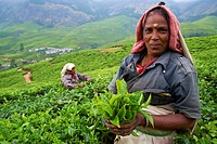 Tamil worker on a tea plantation, Munnar, Kerala, India, Asia