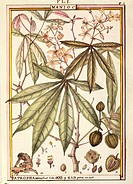 Herbal, 18th century. Florindie ou Historie physico-economique des vegetaux de la Torride, 1789. Plate: Cassava (Jatropha manihot). Watercolor by Dela...