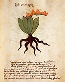 Herbal, 14th century. Orgione Rizzardo, Liber Herbarius una cum Rationibus conficiendi Medicamenta. Plate: Herba Santa Maria - Costmary or Balsam herb...