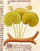 Latin manuscript, 15th century. De Diversis Herbis. Plate: Water Lily - Hetela memifar (Nymphaea).  Modena, Biblioteca Estense (Library)
