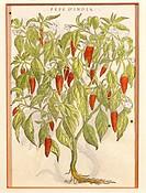 Herbal, 18th century. From Dioscorides' work. Plate: Chili Pepper plant (Capsicum).  Paris, Bibliothèque Des Arts Decoratifs (Library)