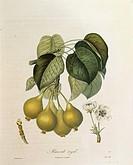 Herbal, 19th century. Henri Louis Duhamel du Monceau (1700-1782), Traite' des Arbres et des Arbustes, 1835 edition. Plate by Antoine Poiteau (1759-184...