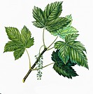 Botany - Trees - Aceraceae - Leaves of Sycamore Maple (Acer pseudoplatanus), illustration