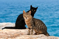 Zwei Hauskatzen am Klippenrand mit Meerblick, Kykladen / Two cats, at the edge of a cliff with ocean view, Cyclades, Greece